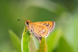 light brown Fiery Skipper moth (Lepidoptera: Hesperiidae: Hylephila phyleus) descend and stay still on a green leaf isolated with soft green background