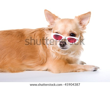 pictures of long haired chihuahua puppies. long hair chihuahua puppy