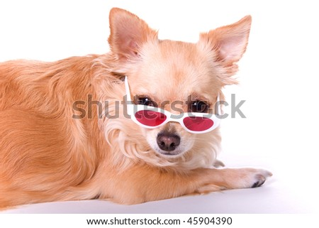 long haired chihuahua pictures. Brown long hair chihuahua