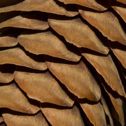 Light brown texture with fir cones. Pinecone macro photography. Closeup