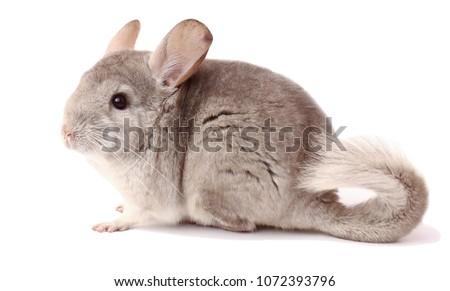 light chinchilla, chinchilla eating, chinchilla on white background, chinchilla food