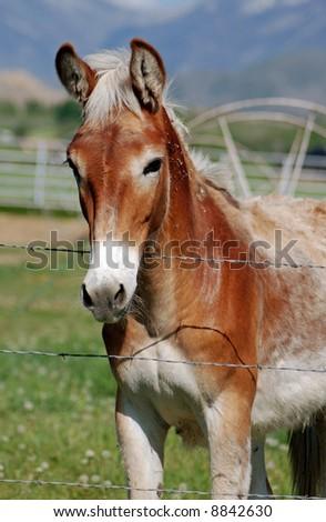 Light Colored Mule