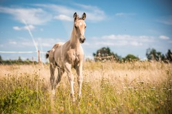Light cute foal with white blaze on head cantering on meadow in the middle of tall grass.