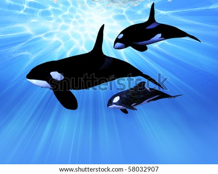 LIGHT ECHO - A mature male Orca whale swims with a juvenile and baby whale in this family group.