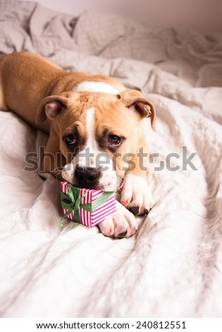 Light Fawn Colored Bulldog Mix Puppy on Gray Bed Playing with Gift Box