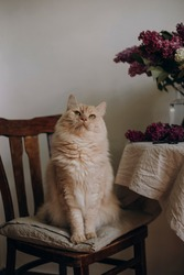 light fluffy cat rolls his eyes and looks up. a big fluffy cat is dreaming about something. lion-like cat on a wooden chair near a white wall