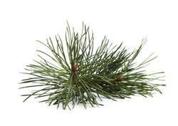 Light green fresh pine cone bud