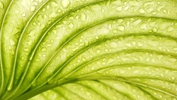 light green leaf after rain. texture of stripes. soothing nature background. from below in front of the sun