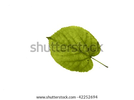 light green leaf of linden isolated on white