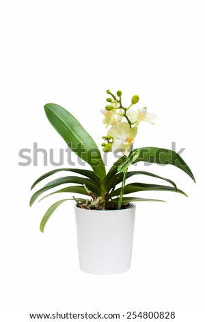 Light green orchid flowers in white pot isolated on white background #254800828