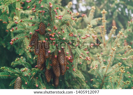 Light green pine tree branches with small pink buds and cluster of large brown pine cones. Pale light faded pastel tones. Amazing spring summer forest nature. Natural background copyspace.