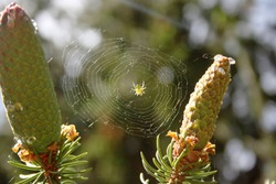 Light green yellow spider on a net between two cones of spruce tree under bright sunlight
