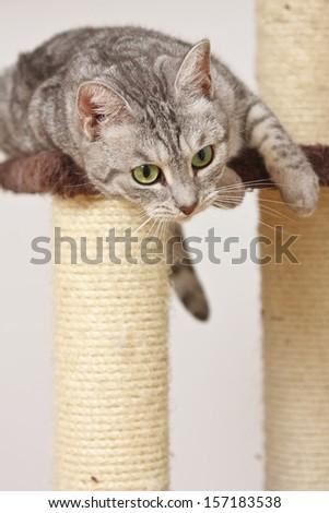 Light grey tiger (silver mackerel tabby) cat playing on the scratch post platform.