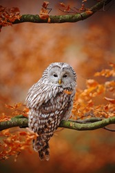 Light grey Ural Owl, Strix uralensis, sitting on tree branch, in orange leaves oak forest.