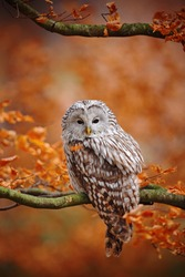 Light grey Ural Owl, Strix uralensis, sitting on tree branch, in orange leaves oak forest. Wildlife scene from fall nature with orange leaves and beautiful bird.