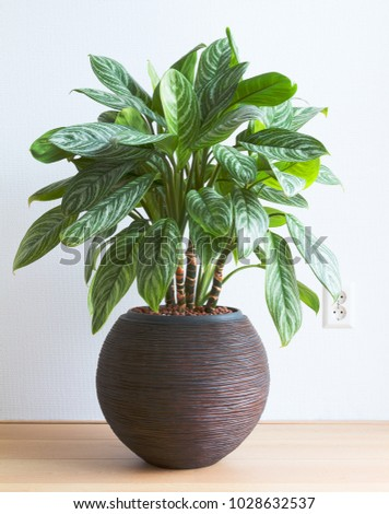 light living room with Aglaonema houseplant and wall socket indoor