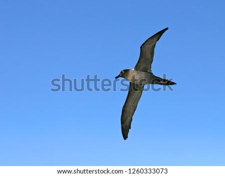 Light-mantled Albatross (Phoebetria palpebrata) in flight over the Atlantic ocean near Antarctica. Also known as the grey-mantled albatross or the light-mantled sooty albatross.