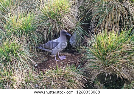 Light-mantled Albatross (Phoebetria palpebrata) on breeding colony in South Georgia . Also known as the grey-mantled albatross or the light-mantled sooty albatross.