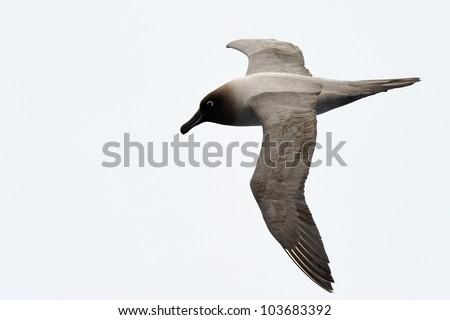 Light-mantled sooty Albatross flying. #103683392