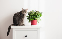 Light minimalistic scandinavian interior with cute cat and indoor kalanchoe plant