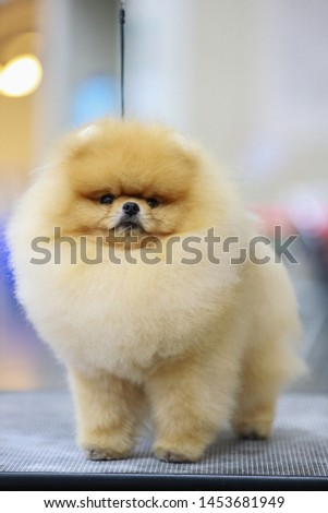Light orange color of adult pomeranian breed after grooming on the grooming table at the dog show with the black color of leash. He is very beautiful and so fluffy pimeranian.