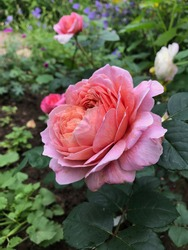 Light pink and lilac blend color Hybrid Tea Rose Eisvogel flowers in a garden in July 2020. Idea for postcards, greetings, invitations, posters, wedding and Birthday decoration, background