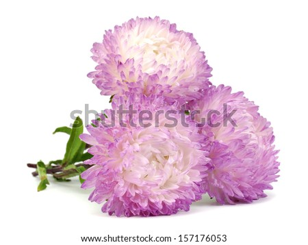 Light pink aster flower on a white background
