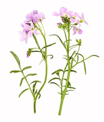 Light pink cuckoo flower as close-up, isolated