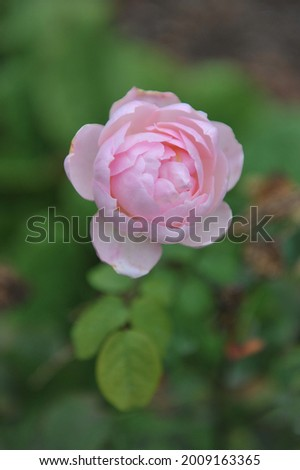 Light pink English shrub rose (Rosa) Dame Prudence bloom in a garden in September Photo stock ©