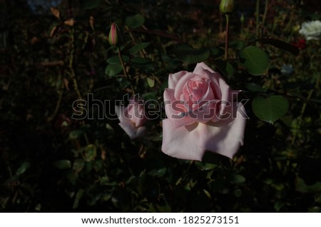 Light Pink Flower of Rose 'Prima Ballerina' in Full Bloom  Stockfoto ©