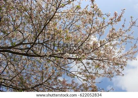 Light pink flowers of sakura cherry blossoms under the blue sky light pink flowers of sakura cherry blossoms under the blue sky and the mightylinksfo