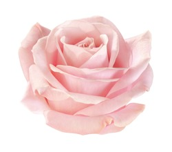 light-pink rose blossom on white background