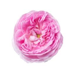 Light pink rose isolated on white. Tea rose
