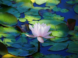 Light pink waterlily in a pond, with leaves all around