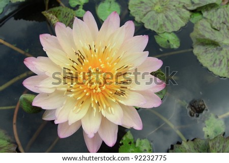 Light pink waterlily is blooming with soft sunlight