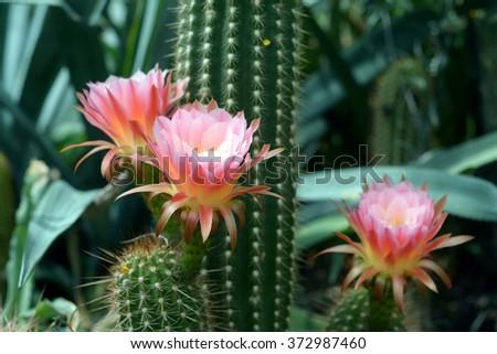 light purple flower of cactus in desert