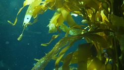 Light rays filter through a Giant Kelp forest. Macrocystis pyrifera. Diving, Aquarium and Marine concept. Underwater close up of swaying Seaweed leaves. Sunlight pierces vibrant exotic Ocean plants.