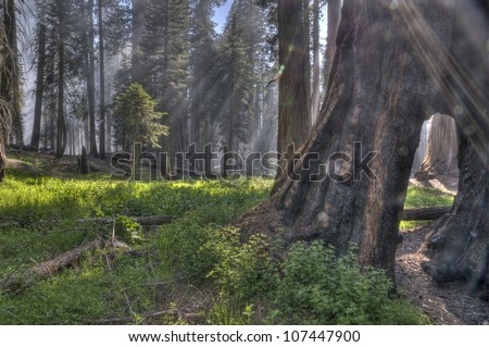 Light rays in the Giant Forest at Sequoia National Park