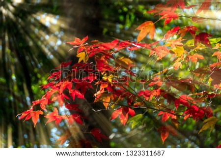 Light shines through the maple tree with red leaves. #1323311687