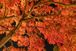 Light up at red fall foliage tunnel, the maple corridor, with illuminated red maple leaves or fall foliage in autumn on black background near Fujikawaguchiko, Yamanashi. trees in Japan at night.
