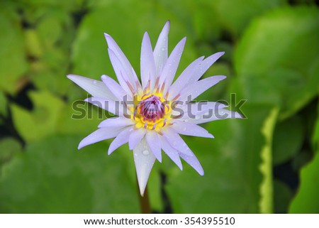 Free photos lotus flower in bloom nelumbo nucifera is botanical light violet lotus flower top view in the pool has some drop water on the petal mightylinksfo