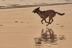 lightbrown shepherd dog is playing