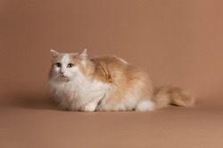 Lightbrown turkish van cat with green eyes isolated and laying on a brown background and looking slightly to the left