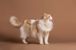 Lightbrown turkish van cat with green eyes isolated and standing in front of a brown background and looking to the right