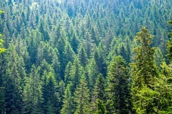 Lighted tops of fir trees on a dense wooded slope