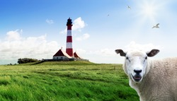 Lighthouse Westerheversand with a sheep in the salt meadows, Germany