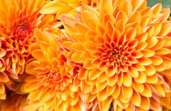 Ligth orange yellow Mum flowers in garden. Beautiful Mum flowers background. Mum flower for design or decoration.