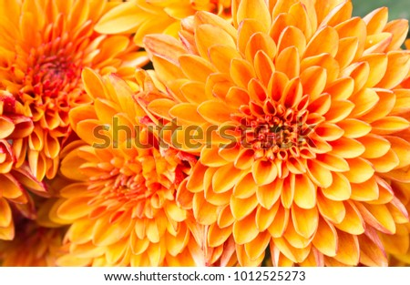 Ligth orange yellow Mum flowers in garden. Beautiful Mum flowers background. Mum flower for design or decoration. #1012525273