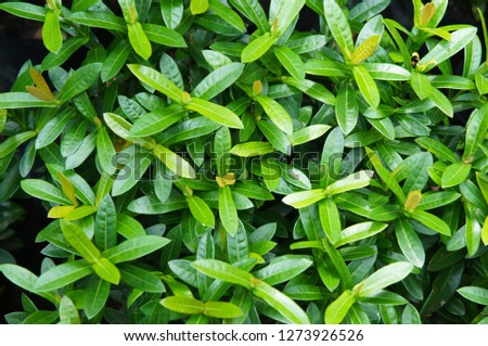 Ligustrum or wild privet green foliage background