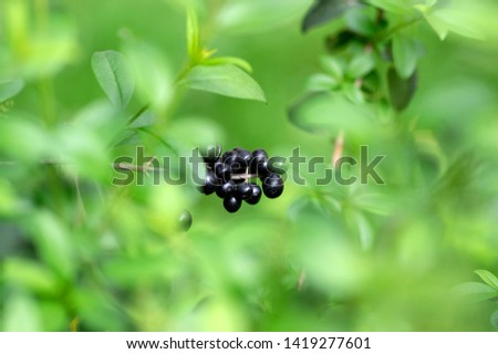 Ligustrum vulgare ripened black berries fruits, shrub branches with green leaves #1419277601